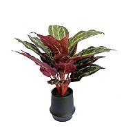 Plante calathea CANVAS, 16 po
