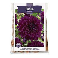Dahlia Decorative Thomas Edison 2-Bulbs For Planting