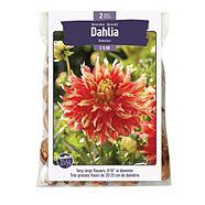 Bulbs Are Easy Dahlia Bodacious Spring Bulbs