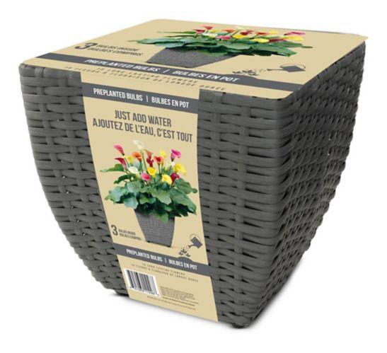 Trousse complète de fleurs avec bulbes Bulbs are Easy, Calla Lily